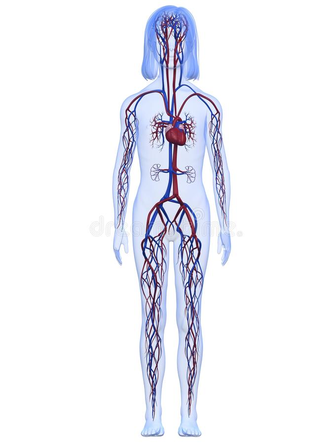 女孩系统血管年轻人 向量例证
