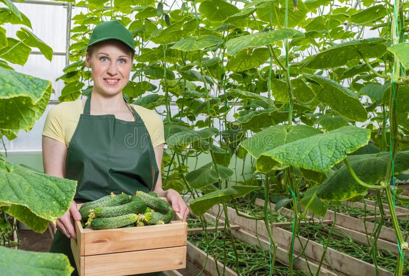 女孩自温室工作 一名工作者的画象有一个条板箱的新鲜的黄瓜 免版税库存图片