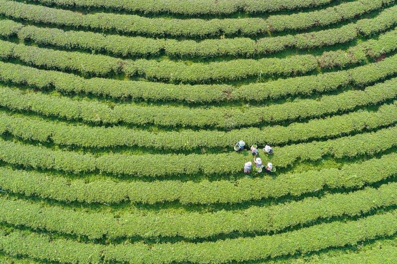 女工在一个茶园的采摘茶叶北部的 免版税图库摄影