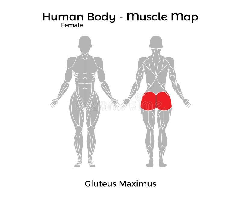 女性人体-干涉地图,臀肌Maximus 库存例证