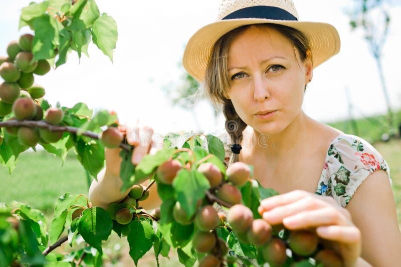 女性农夫检查成熟在树枝的杏子 免版税库存照片