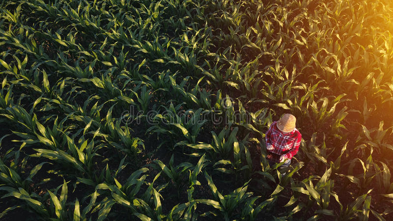 女性农夫鸟瞰图有片剂的在麦地 免版税库存照片
