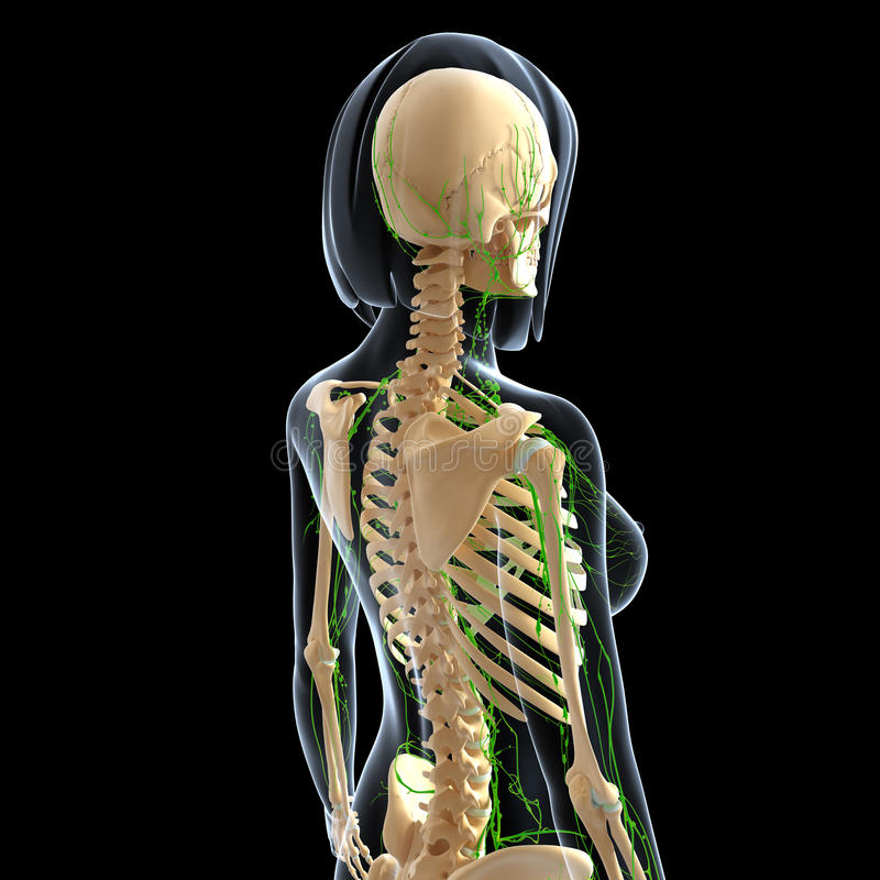 女性后部视图淋巴系统  库存例证