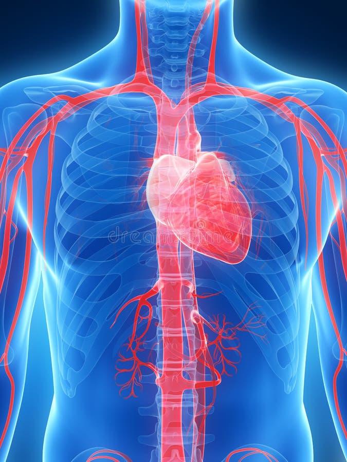 女性心脏 向量例证