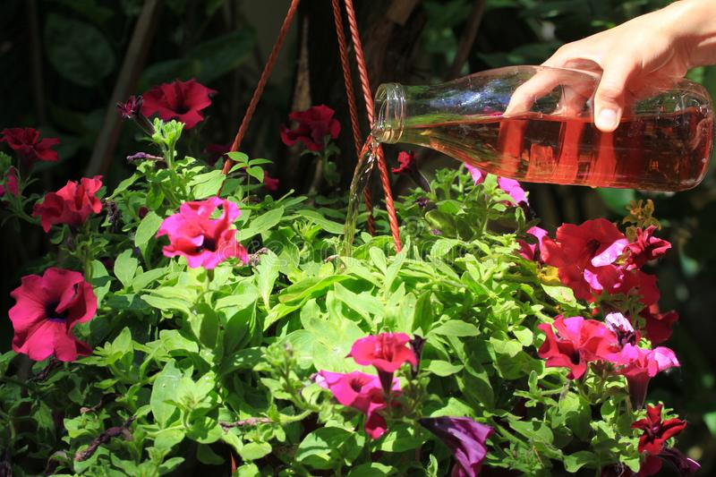 女性手倾吐在一个罐的喇叭花有在家准备的肥料的 有机液体肥料 营养室内 库存图片