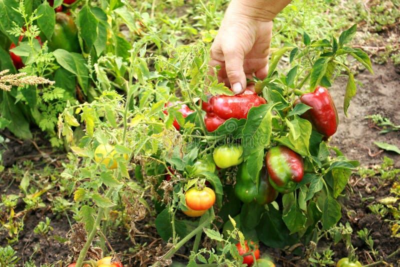 女性手在庭院里拿着生物红辣椒 免版税图库摄影