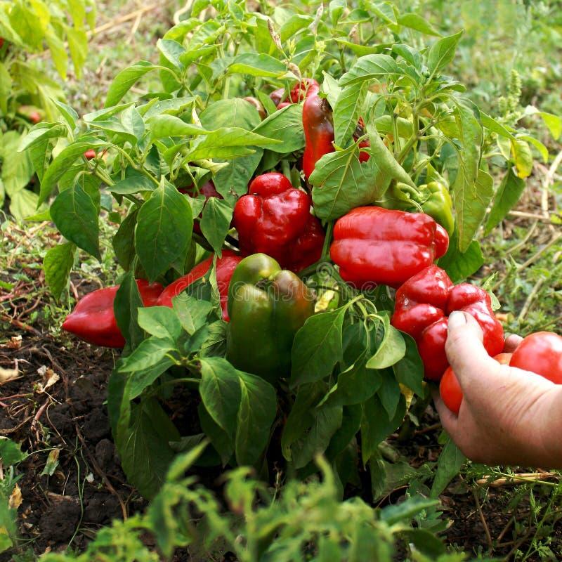 女性手在庭院里拿着生物红辣椒 免版税库存图片