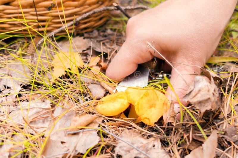 女性手在森林里在秋天切黄蘑菇蘑菇 免版税库存图片
