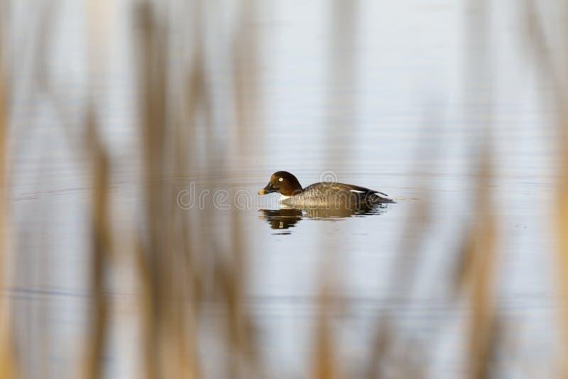 女性手推车的白颊鸭游泳在湖 库存照片