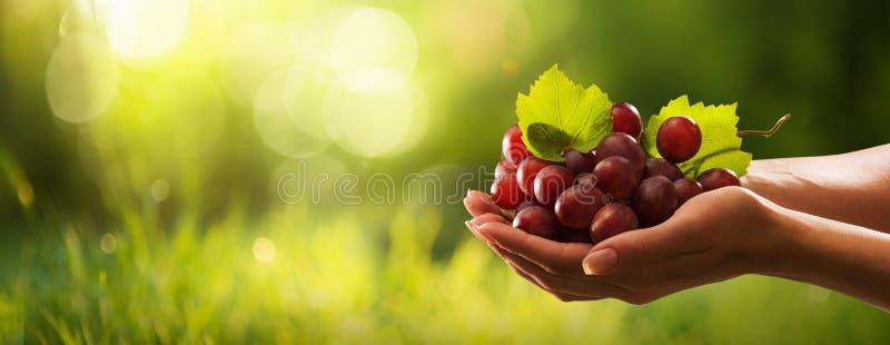女性手用新近地被收获的红葡萄 库存图片