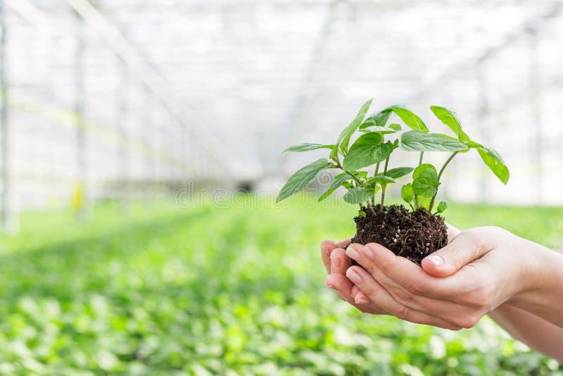 女性植物学家藏品幼木的手在植物托儿所 免版税库存图片