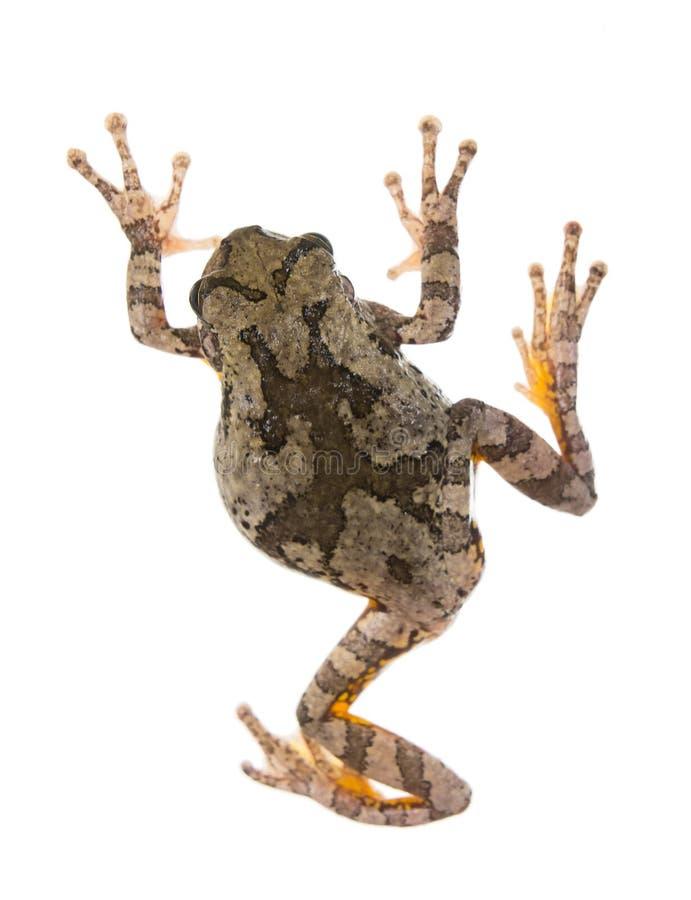 女性灰色雨蛙雨蛙chrysoscelis/杂色。看法从 库存图片