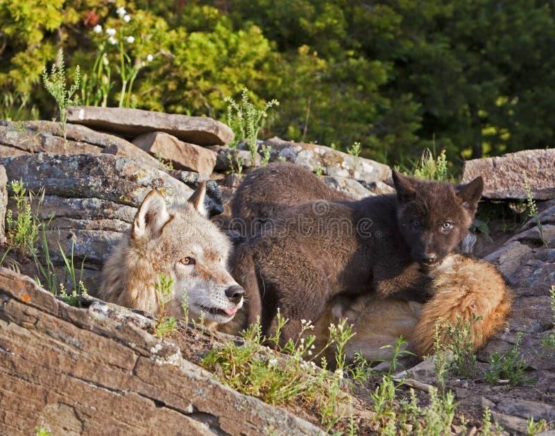 女性狼天狼犬座和小狗 免版税库存图片