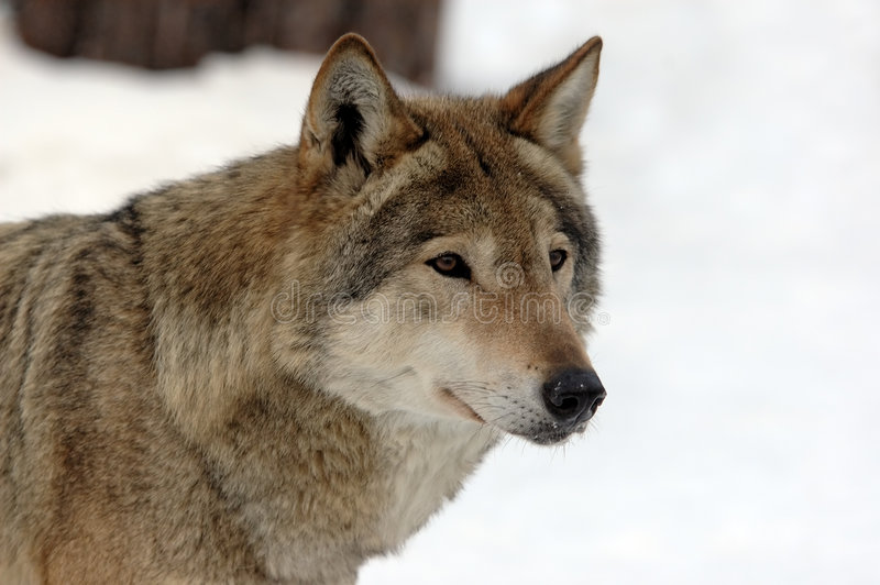女性狼年轻人 免版税库存照片