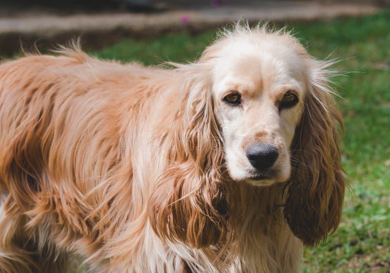 女性猎犬画象看照相机 免版税库存图片