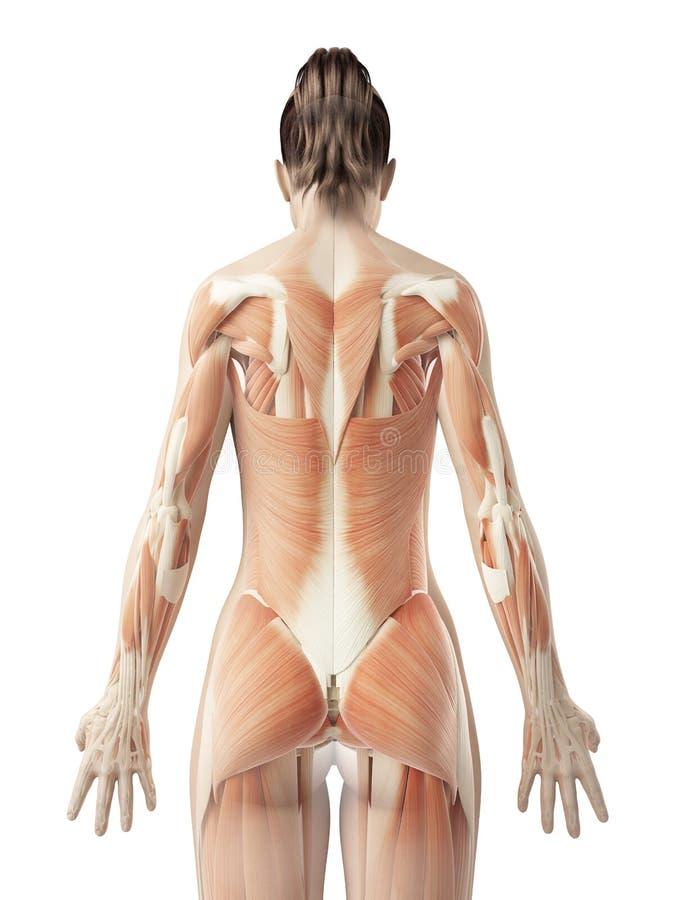 女性的背部肌肉 向量例证