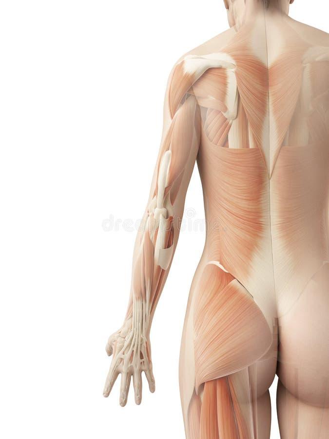 女性的背部肌肉 库存例证