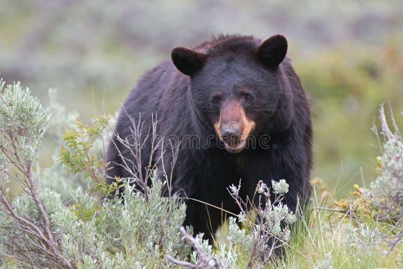 女性美国黑熊熊属类美洲在怀俄明状态的美国黄石国家公园 库存照片