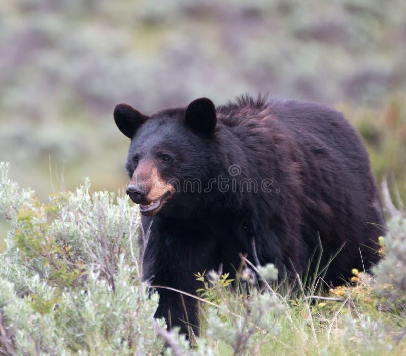 女性美国黑熊熊属类美洲在黄石国家公园在怀俄明 库存图片
