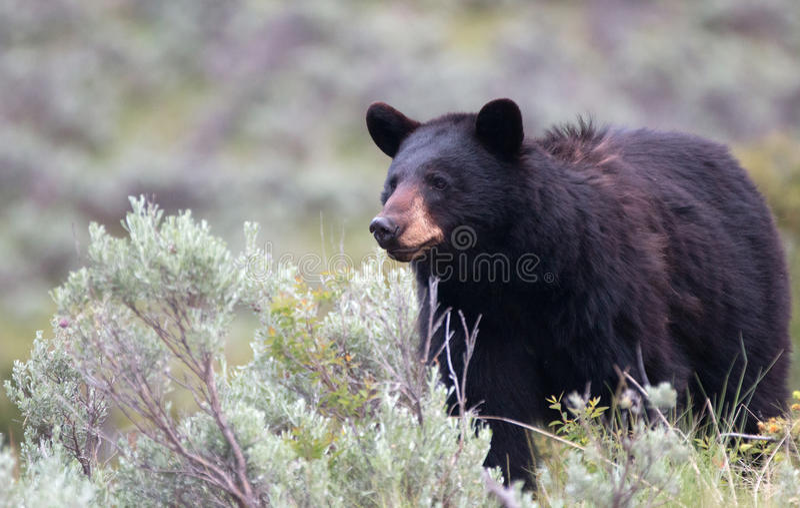 女性美国黑熊熊属类美洲在黄石国家公园在怀俄明 免版税库存照片