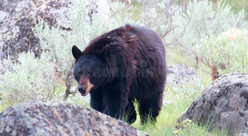 女性美国黑熊熊属类美洲在黄石国家公园在怀俄明 免版税库存图片