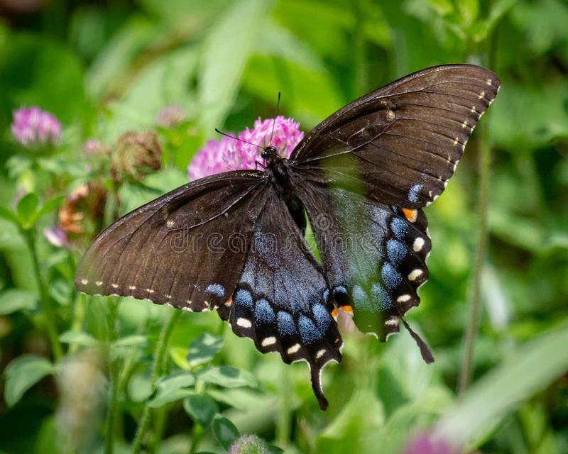 女性老虎Swallowtail宏指令,背面观 免版税库存图片