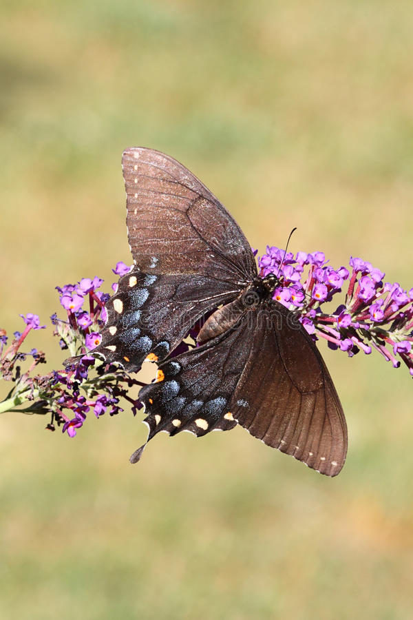 女性老虎Swallowtail papilio glaucas 库存图片