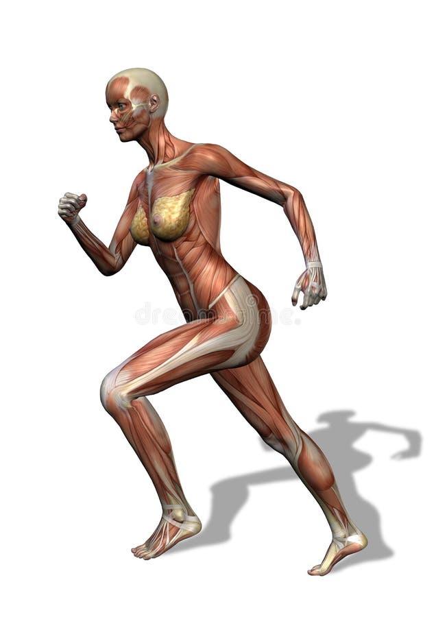 女性肌组织运行中 库存例证
