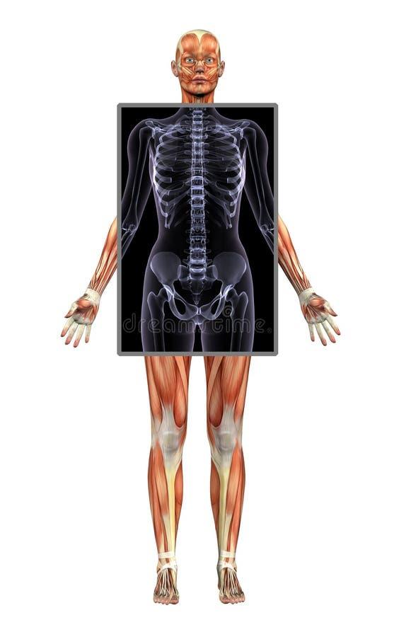 女性肌肉光芒结构x 向量例证