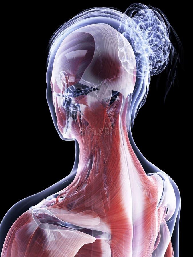 女性肌肉系统 向量例证
