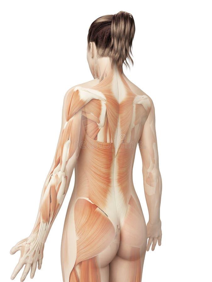 女性肌肉系统 库存例证