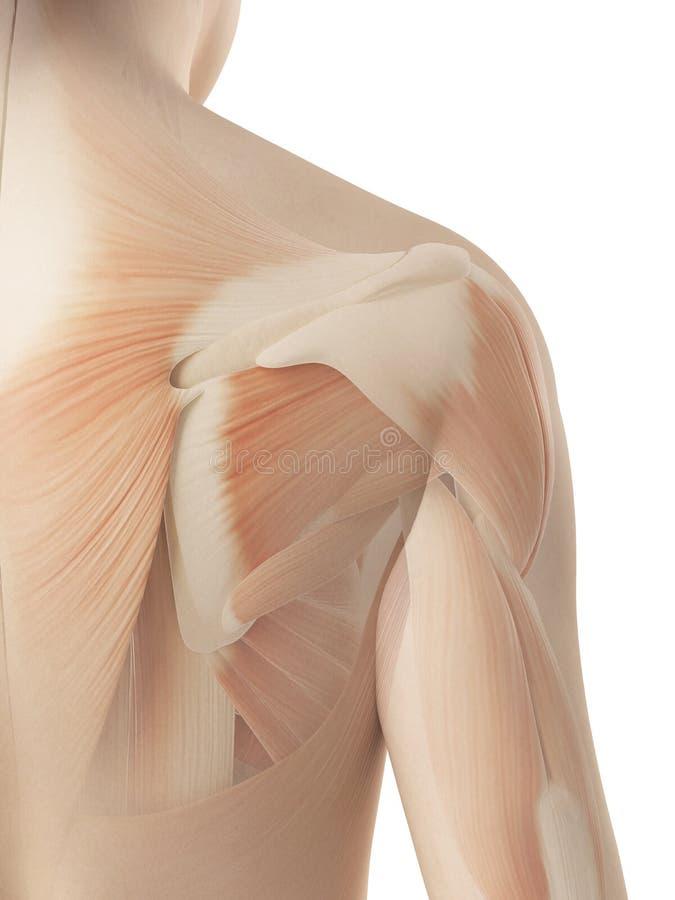 女性肩膀-肌肉解剖学 皇族释放例证