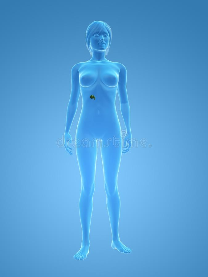 女性胆囊 向量例证