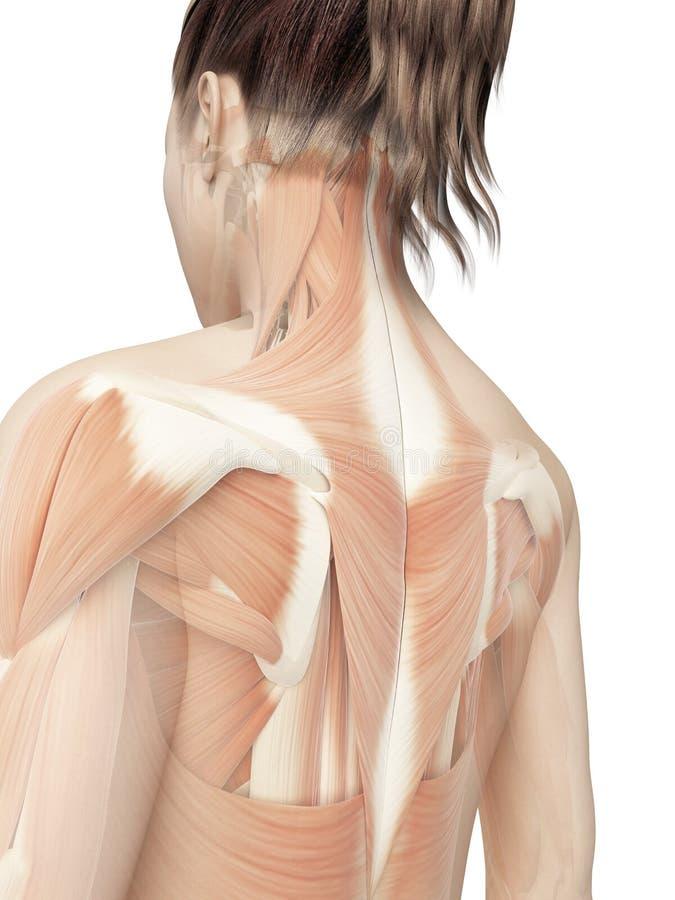 女性背部肌肉 库存例证