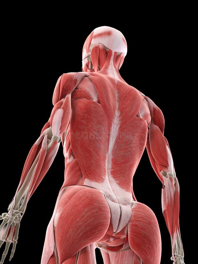 女性背部肌肉 皇族释放例证