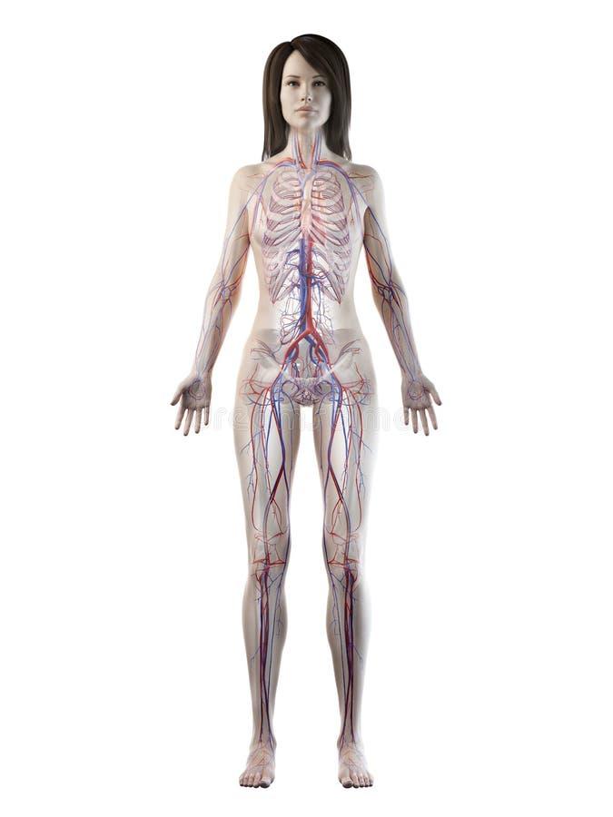 女性脉管系统 皇族释放例证