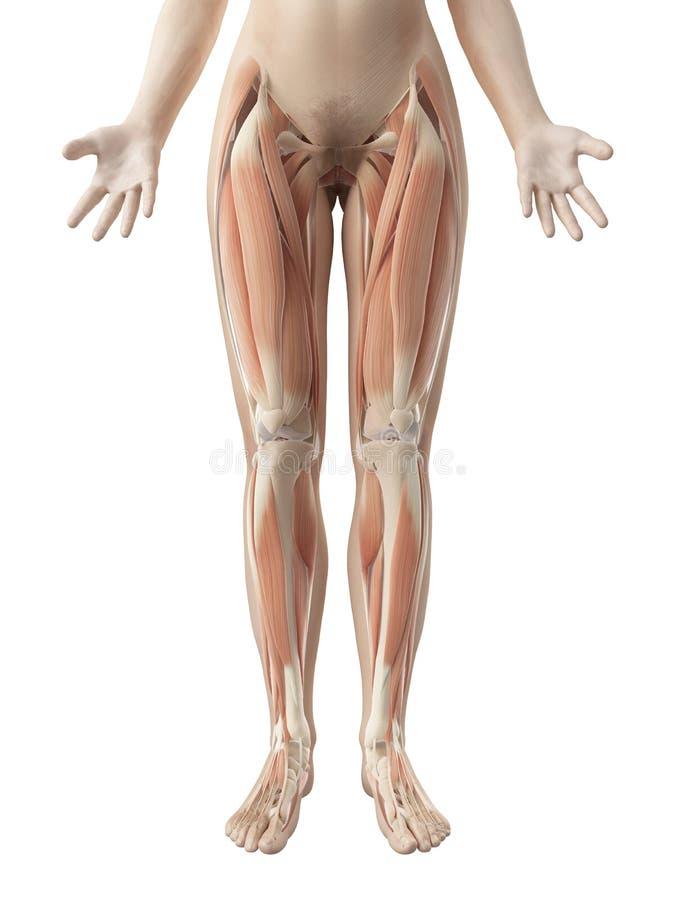 女性腿肌肉 库存例证