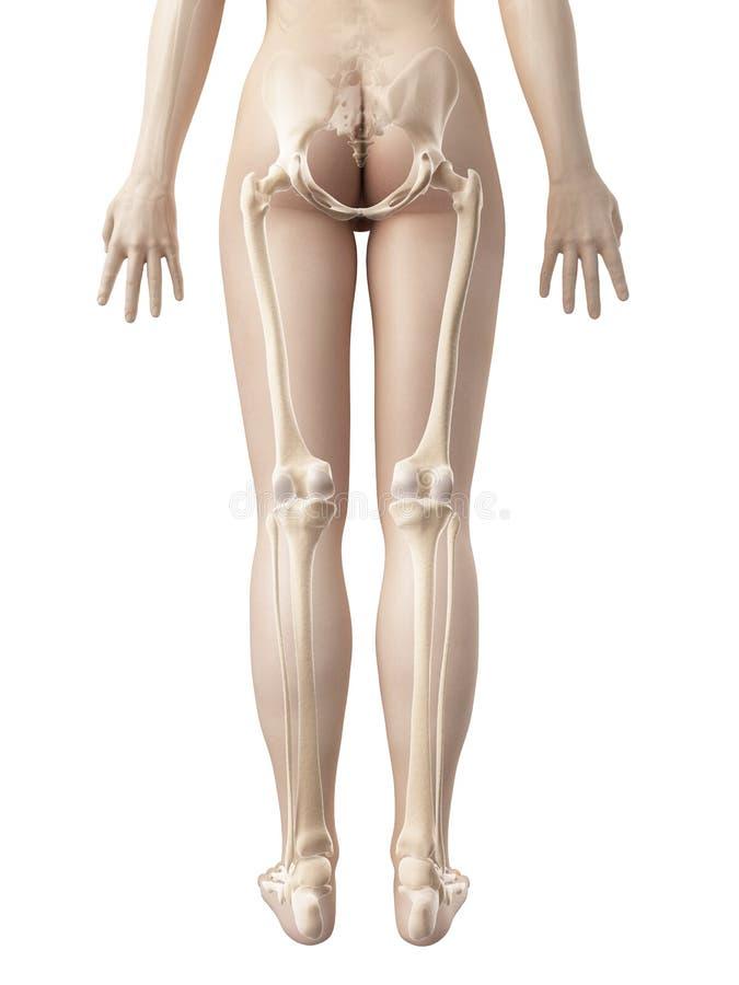 女性腿骨头 向量例证