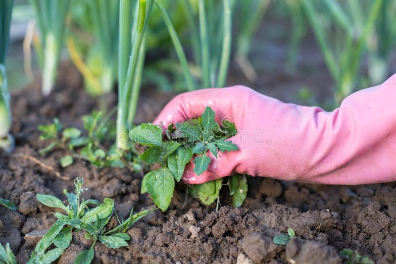 女性花匠除草杂草的手在菜园里 图库摄影