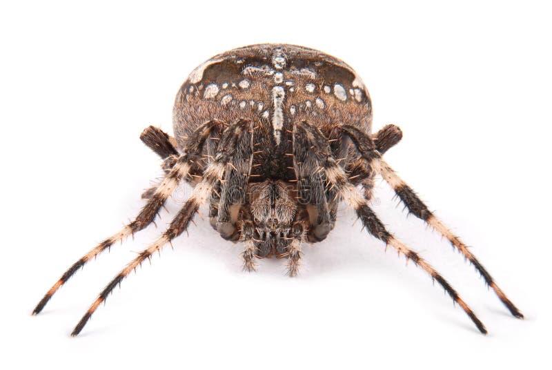女性蜘蛛烈士 免版税库存图片