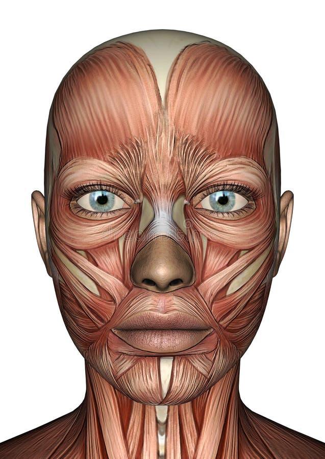 女性解剖学面孔 库存例证