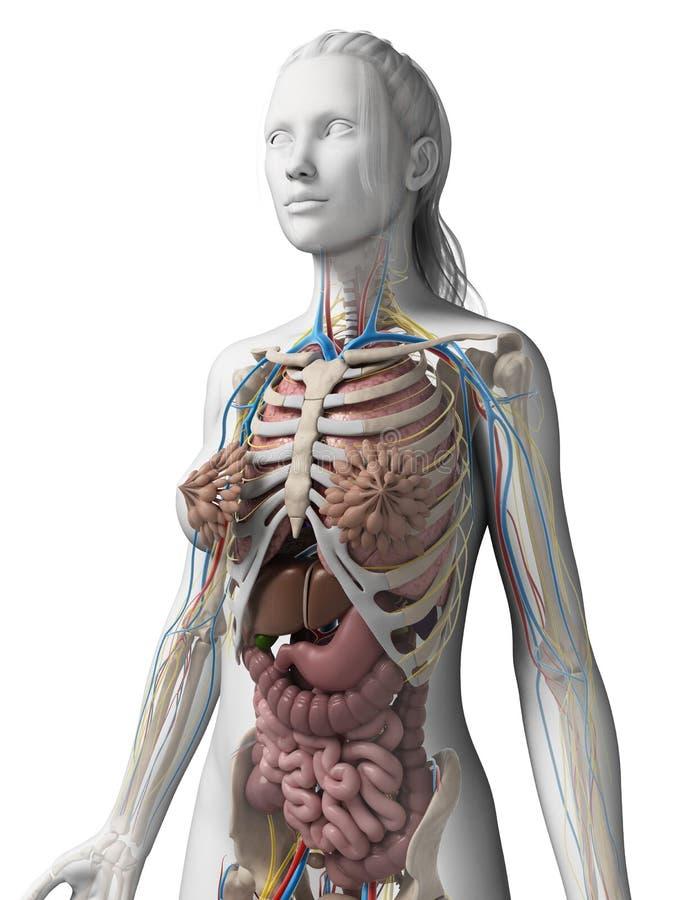 女性解剖学 库存例证