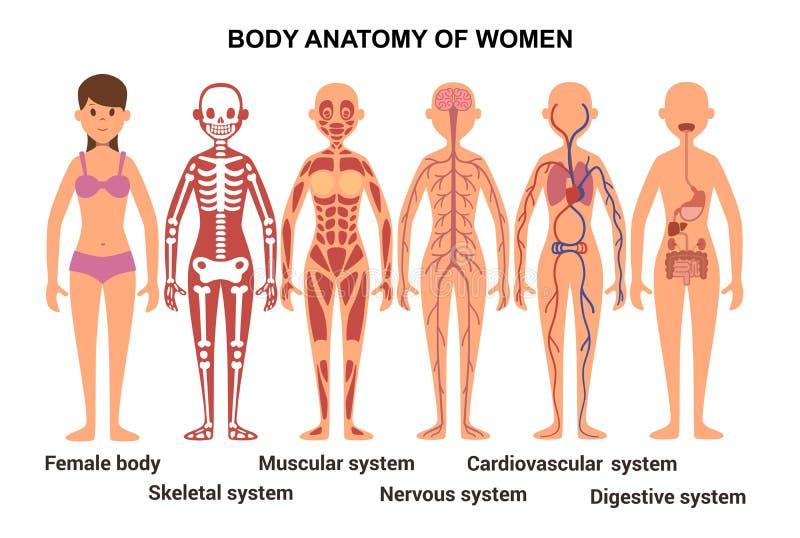 女性身体的解剖学 解剖海报 库存例证