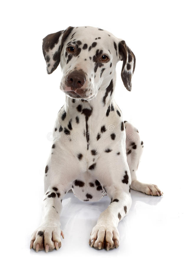 年轻女性达尔马提亚狗 库存图片