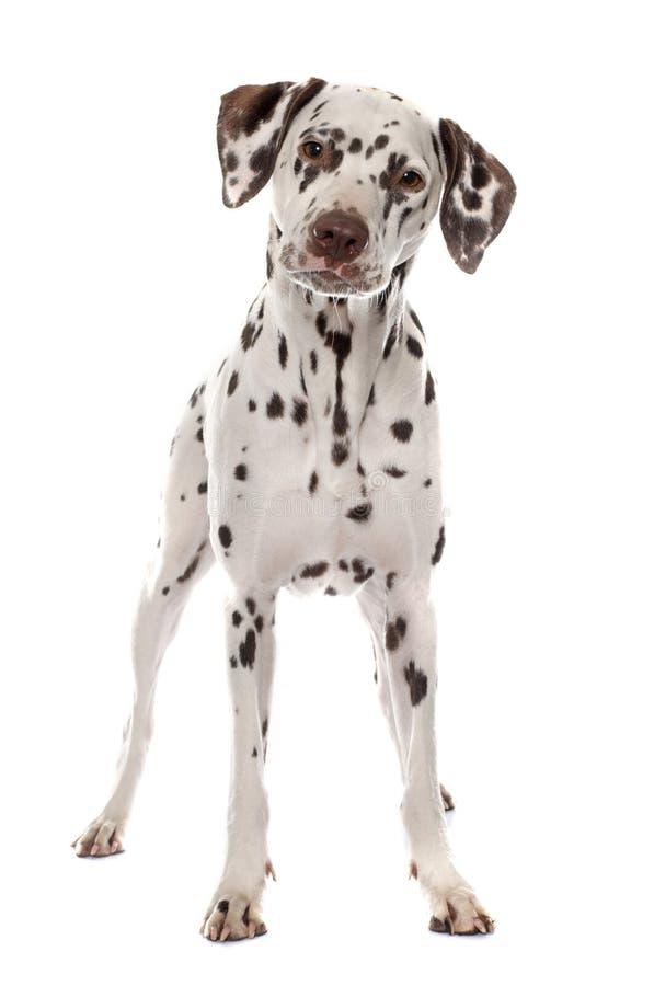 年轻女性达尔马提亚狗 免版税图库摄影
