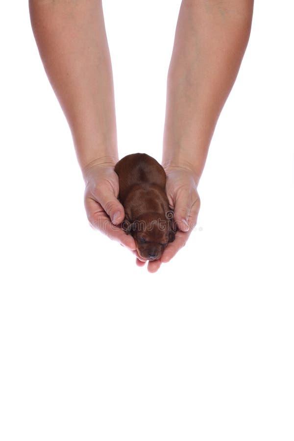 女性递小狗 库存照片