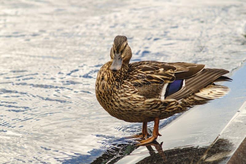 女性野鸭鸭子语录platyrhynchos是家庭鸭科的成员 这是水鸟 美好的年轻鸭子立场在水中 库存图片