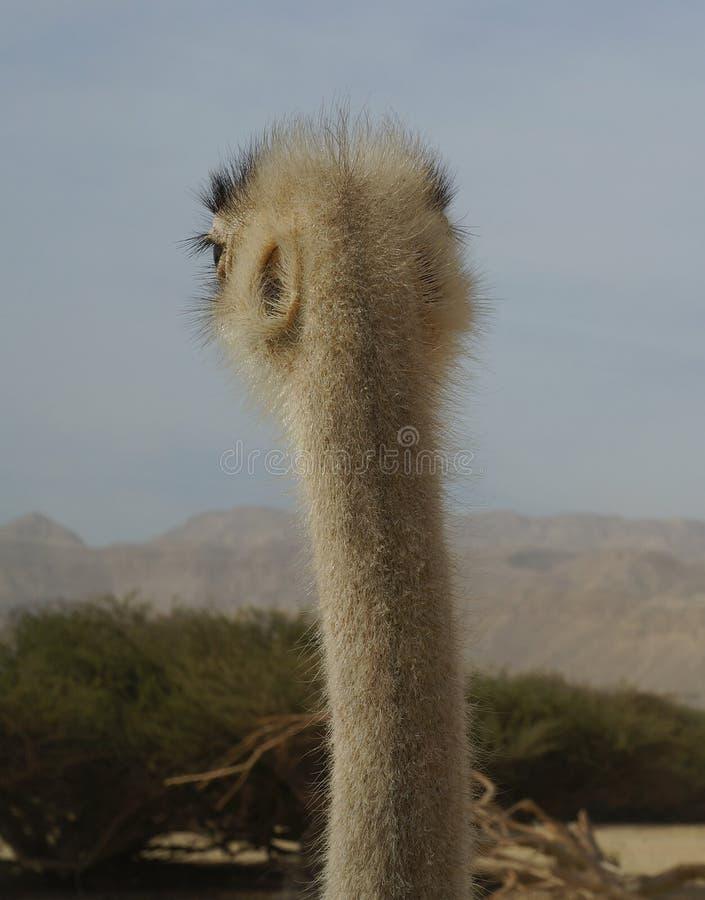 女性非洲驼鸟头 免版税库存图片