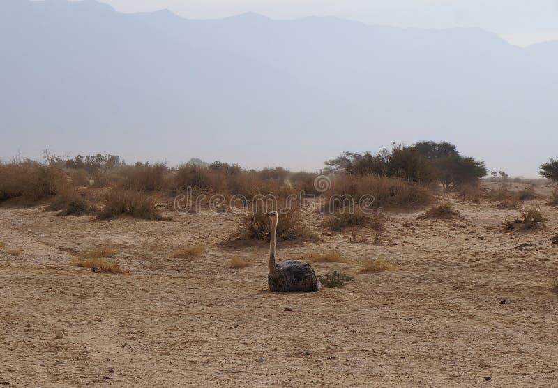 女性非洲驼鸟开会 免版税库存图片