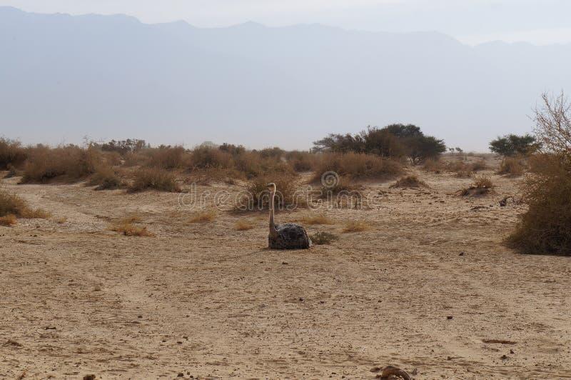 女性非洲驼鸟开会 库存照片